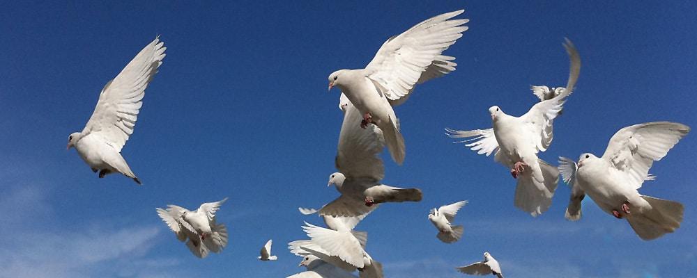 White Dove release for Services